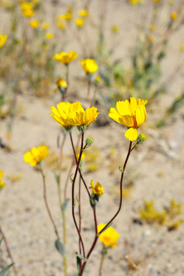 blog 5 Panamint Mountains, Desert Sunflower (), CA_DSC5560-4.2.16.jpg