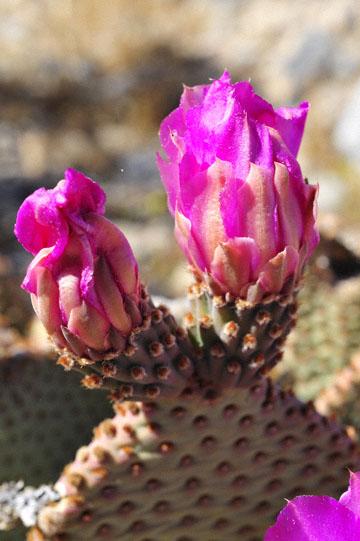 blog 5 Panamint Mountains, Cactus (), CA_DSC5575-4.2.16.jpg