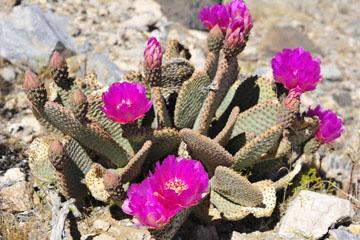 blog 5 Panamint Mountains, Cactus (), CA_DSC5568-4.2.16.jpg