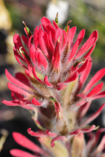 blog 5 Death Valley, Indian Paintbrush (), CA 2_DSC5616-4.2.16.jpg
