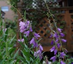 R君宅からの紫の花