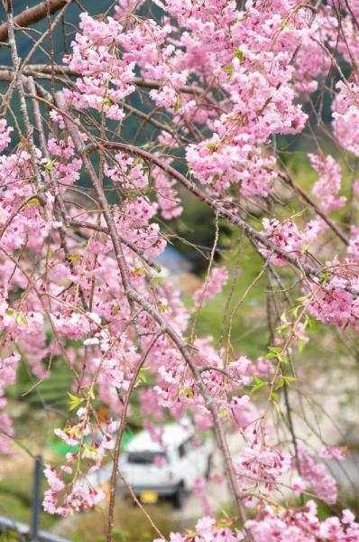 10中津しだれ桜16.04.08