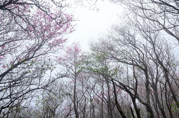 4西赤石山アケボノ16.05.07