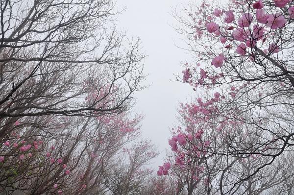 8西赤石山アケボノ16.05.07