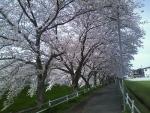 桜2016佐保川