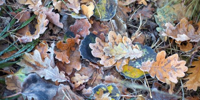 霜の落ち葉