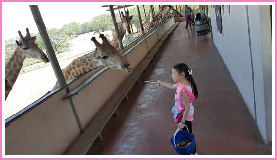 キリン 餌やり (4)