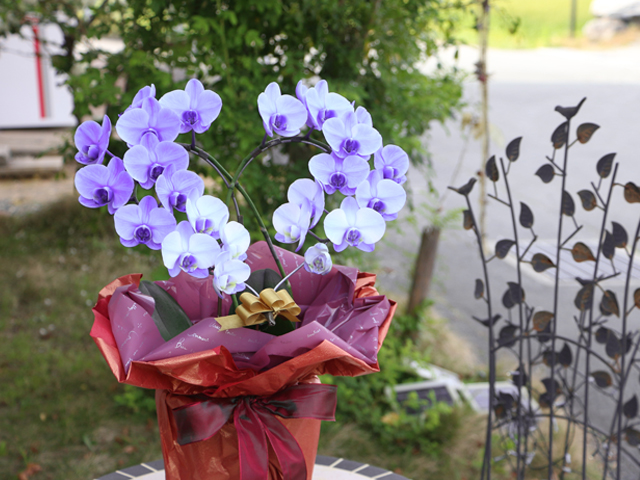 母の日 人気 胡蝶蘭 青 紫 サプライズ