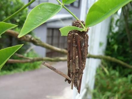 【ミノ世界最強】ミノムシから世界最強の糸 クモの糸よりも強く丈夫 興和など開発