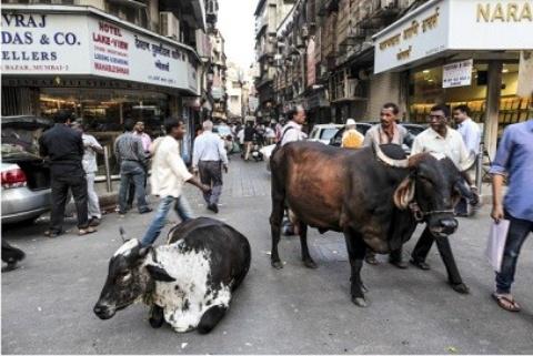【牛死んで暴動】「聖なる」牛の死めぐり400人が暴動、2人死亡  インド