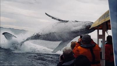 【衝撃!】ホエールウォッチングでクジラが大ジャンプ!