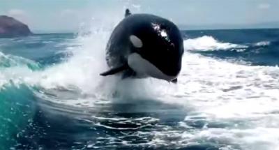 【スゴイ!】シャチはモーターボートでは振り切れないことが分かった!