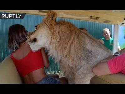 【いいね!】人間に慣れ過ぎたライオン!