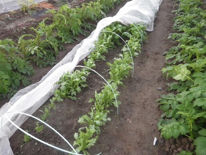 小物野菜の畝18_10_25