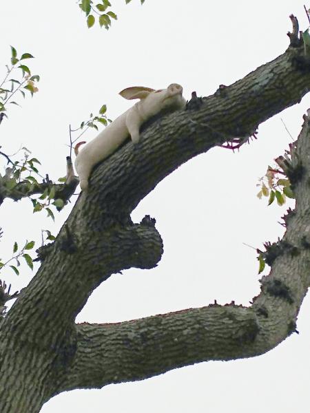 木登りブタ