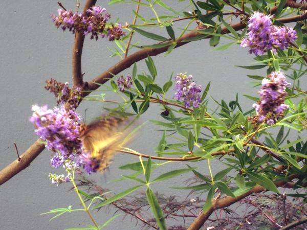 西洋人参木の蝶