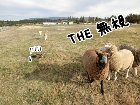 羊の国のラブラドール絵日記シニア!!「ファーム・キャットへの道のり~実践編~」9
