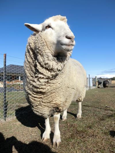 羊の国のラブラドール絵日記シニア!!「ごめんね、こまち」2
