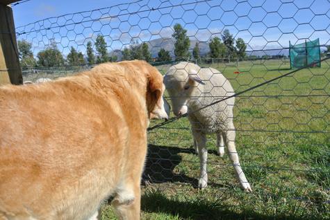 羊の国のラブラドール絵日記シニア!!「今もなお・・・」1