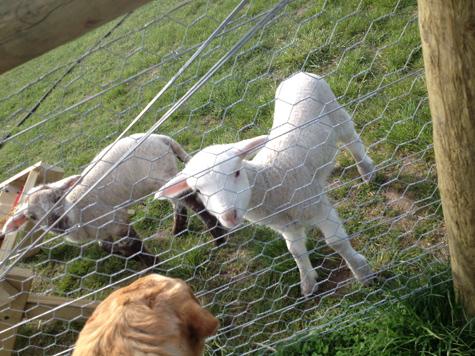 羊の国のラブラドール絵日記シニア!!「今もなお・・・」2