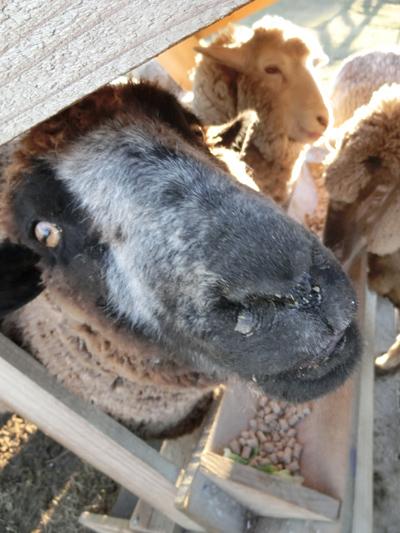 羊の国のラブラドール絵日記シニア!!「さすがベテラン」5