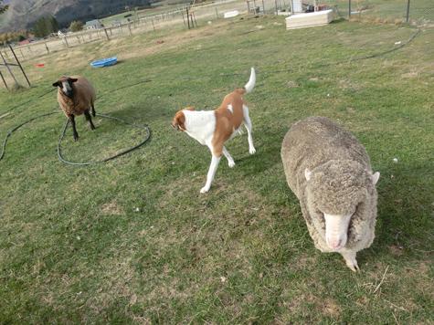 羊の国のラブラドール絵日記シニア!!「なんちゃってシープドッグ」3