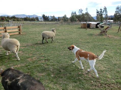 羊の国のラブラドール絵日記シニア!!「なんちゃってシープドッグ」4