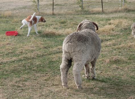 羊の国のラブラドール絵日記シニア!!「なんちゃってシープドッグ」5