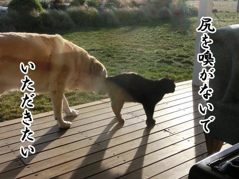 羊の国のラブラドール絵日記シニア!!「クイズ!100猫さんに聞きました!」2
