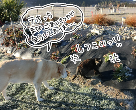 羊の国のラブラドール絵日記シニア!!「クイズ!100猫さんに聞きました!」4