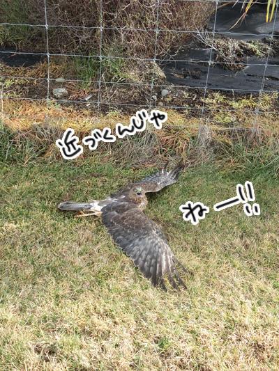 羊の国のラブラドール絵日記シニア!!「ならでは?お散歩アクシデント」3