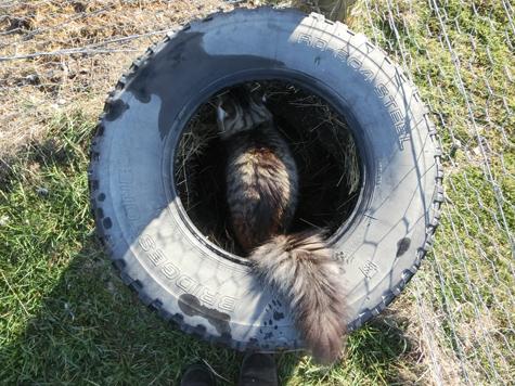 羊の国のラブラドール絵日記シニア!!「猫ガーデニング」3