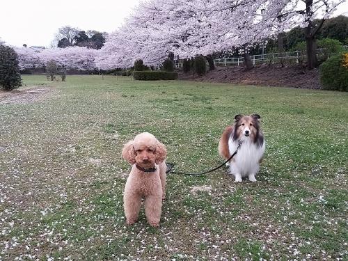 大崎公園のさくら