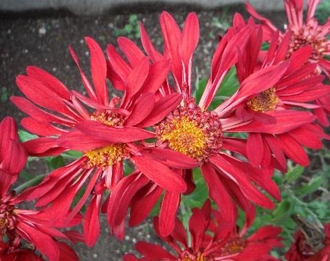 Chrysanthemum_Charmer12-2018.jpg
