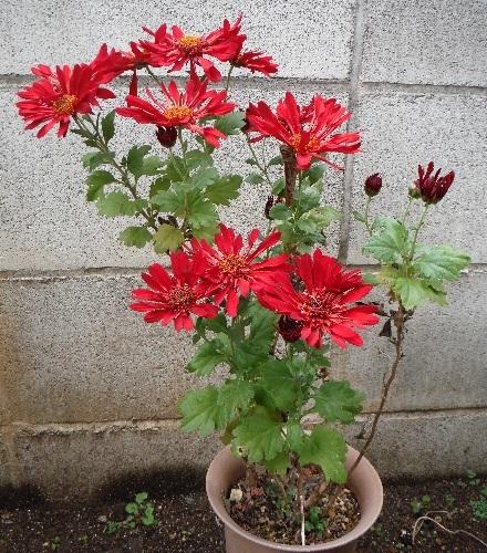 Chrysanthemum_Charmer15-2018.jpg