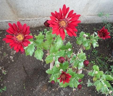 Chrysanthemum_Charmer16-2018.jpg