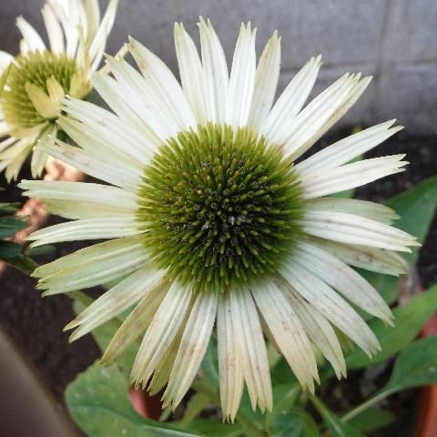 Echinacea-Green_Jewel7-2018.jpg