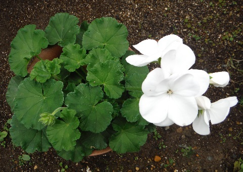 Pelargonium-little_heart_white3-2018.jpg