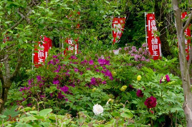 20160515龍願寺ぼたん祭り04