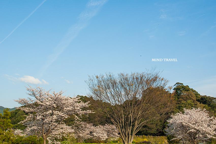 箸墓古墳 桜