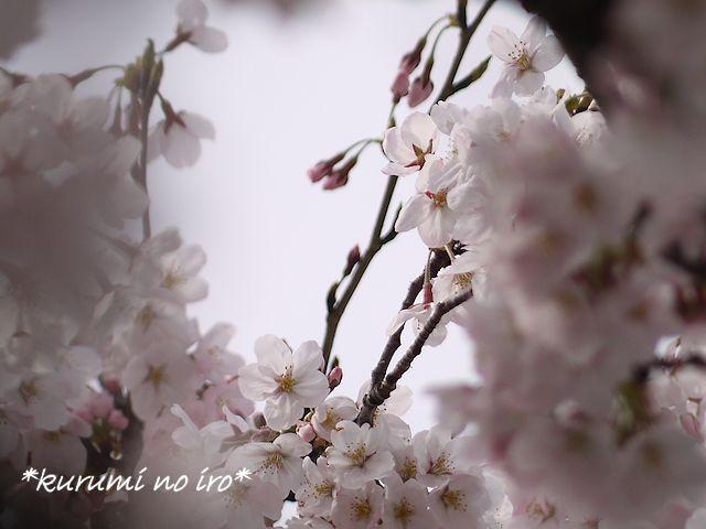 160403sakura06.jpg
