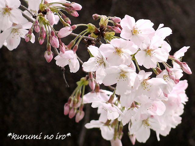 160403sakura07.jpg