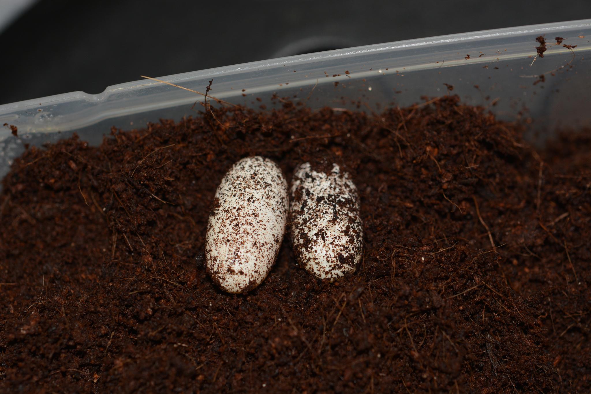 eublepharis_hardwickii_eggs02.jpg