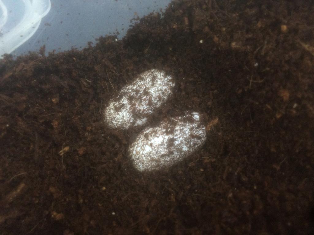 eublepharis_macularius_egg01.jpg