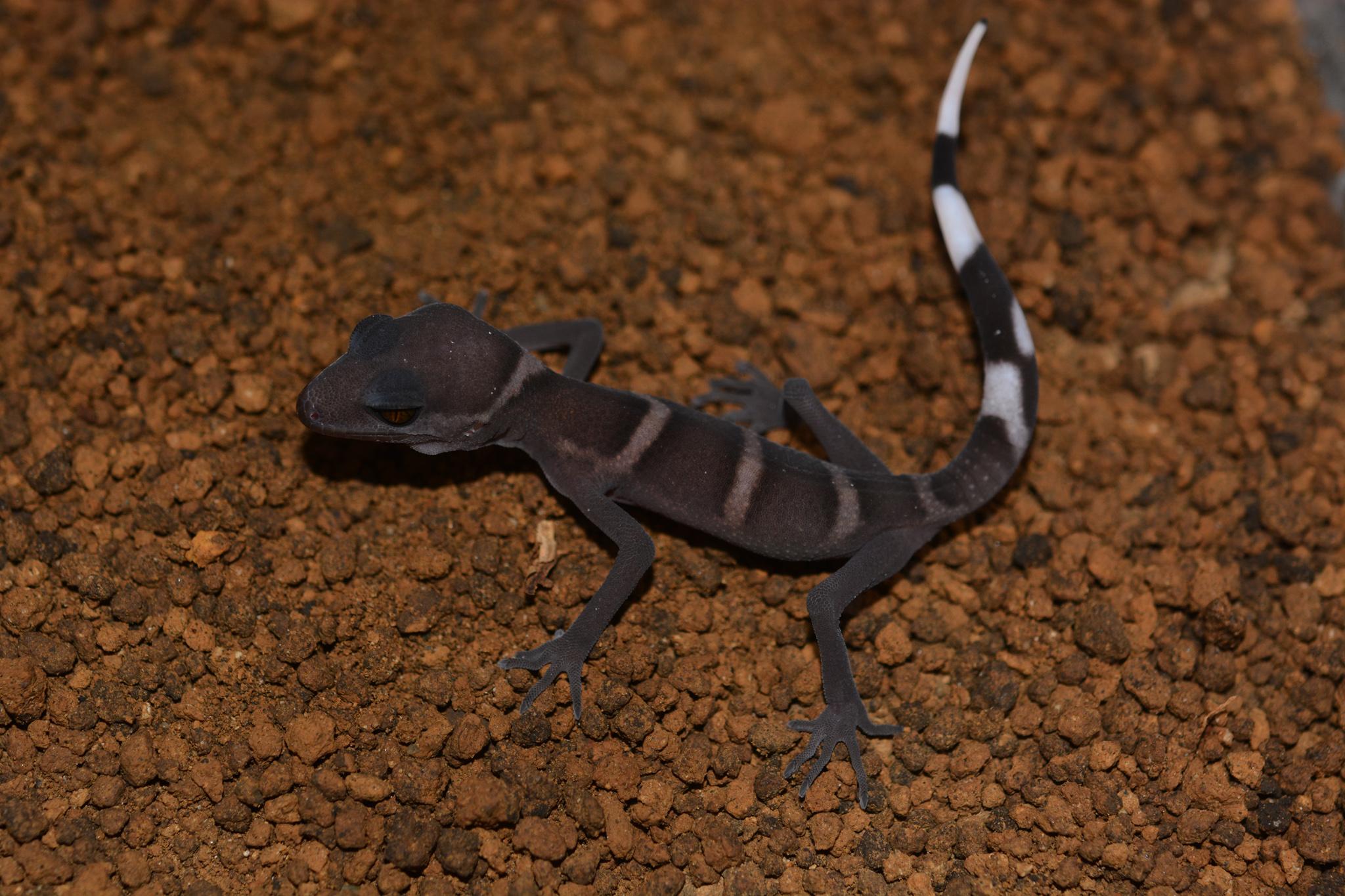 goniurosaurus_catbaensis_2016004_hatch.jpg