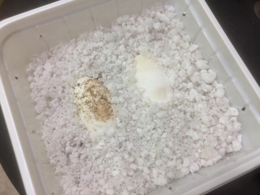rhacodactylus_leachianus_eggs_201602.jpg