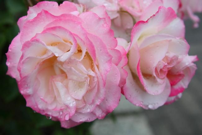 Rosa Nicole