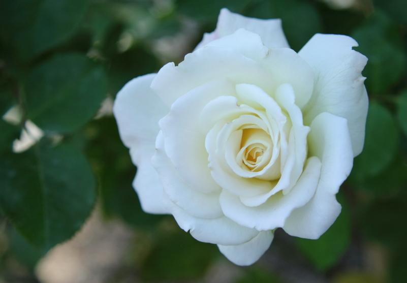 Rosa White Lightnin'
