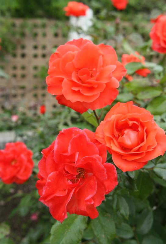 Rosa Rusticana