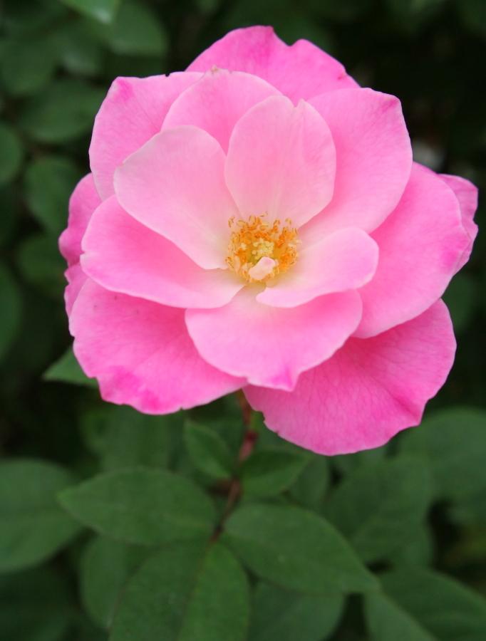 Rosa Simplicity